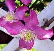 Garden Wedding Flowers - Clematis