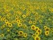 Garden Wedding Flowers - Sunflower