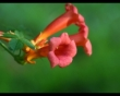 Garden Wedding Flowers - Trumpet Vine