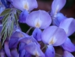 Garden Wedding Flowers - Wisteria