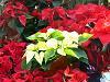 Winter Wedding Flowers - Poinsettia